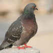 pigeon-1370404-1279×852